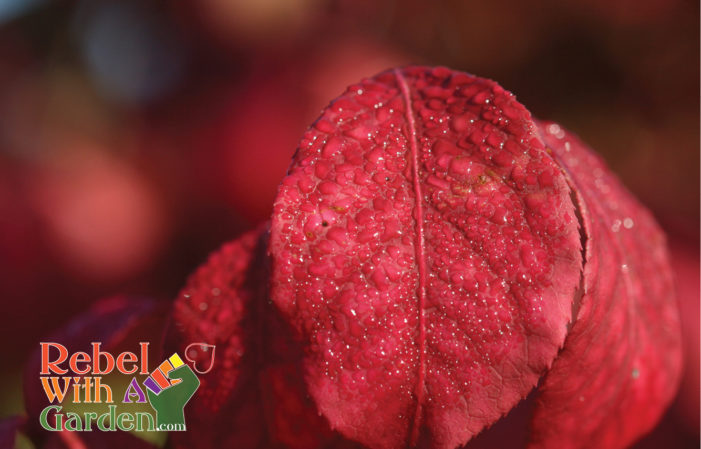 Growing Burning Bush for fall color