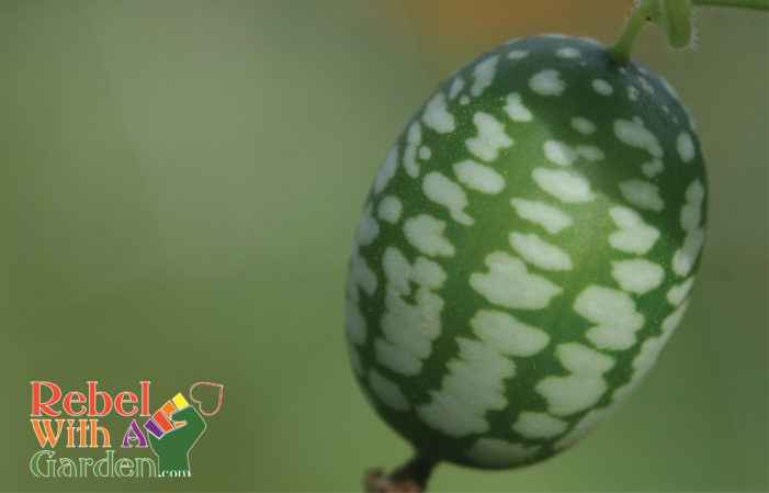 How to grow Mouse Melons (Mexican Gherkin)