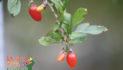 Grow Goji Berries