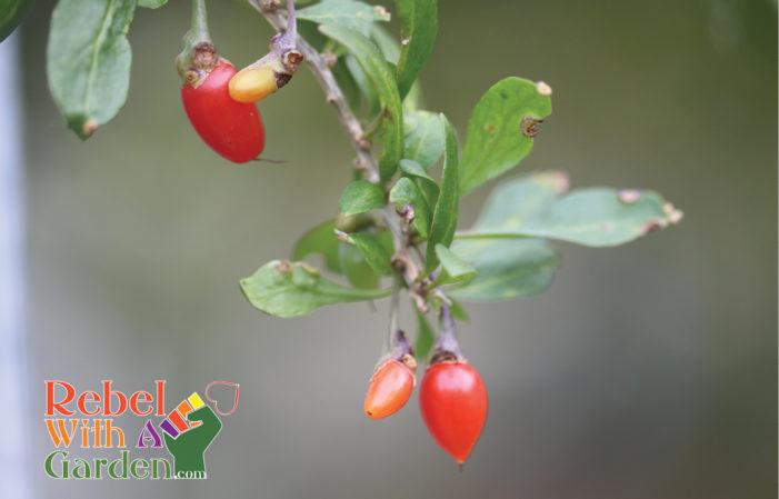 Grow Goji Berries Rebel With A Garden