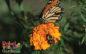 Marigolds and Nematodes