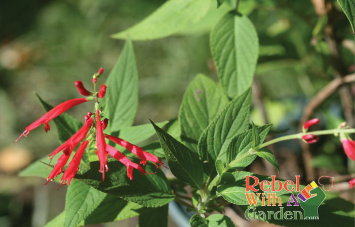 Growing Pineapple Sage